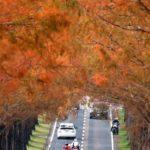 滋賀・高島市:メタセコイア並木 鮮やかに紅葉 – 毎日新聞