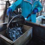 アユ量、平年並みかそれ以上 琵琶湖稚魚調査で2.54倍 : 京都新聞
