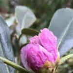 暖かな天候で?師走にシャクナゲ咲く 冬枯れの森に鮮やかピンク – 京都新聞 | This kiji is