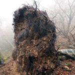 倒壊ブナ「根返り」森林ピンチ 台風とシカ害ダブル、京滋府県境 : 京都新聞
